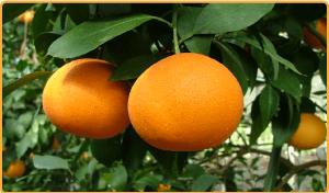薄い皮で包まれた果汁たっぷりの果実