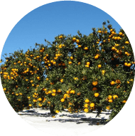 シートマルチ栽培の普及率が高いのイメージ